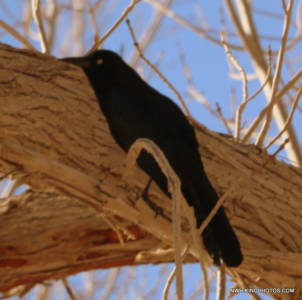 Great-tailed Grackle (male)